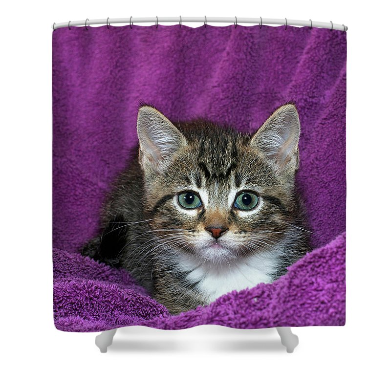 Face Shower Curtain featuring the photograph Kitten, Purr-fect In Purple by Sheila Fitzgerald