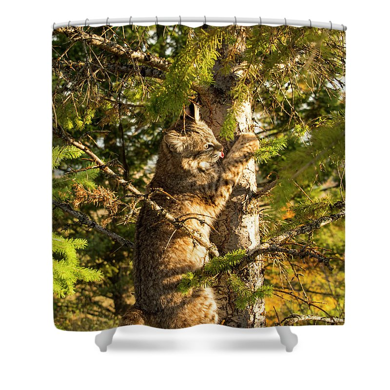 Bobcat Shower Curtain featuring the photograph Kitten up a tree by Roy Nierdieck