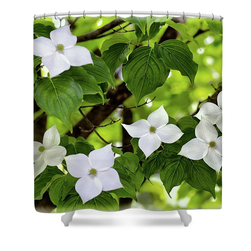 Kousa Dogwood In Bloom Shower Curtain featuring the photograph Kousa Dogwood In Bloom by Carolyn Derstine