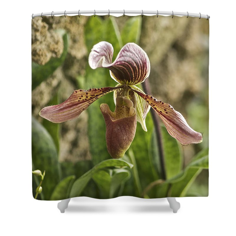 Orchid Shower Curtain featuring the photograph Lady Slipper 2 by Michael Peychich