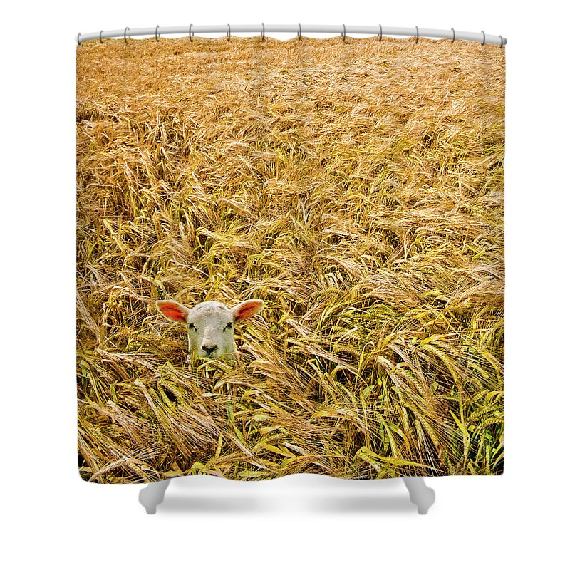 Sheep Shower Curtain featuring the photograph Lamb With Barley by Meirion Matthias