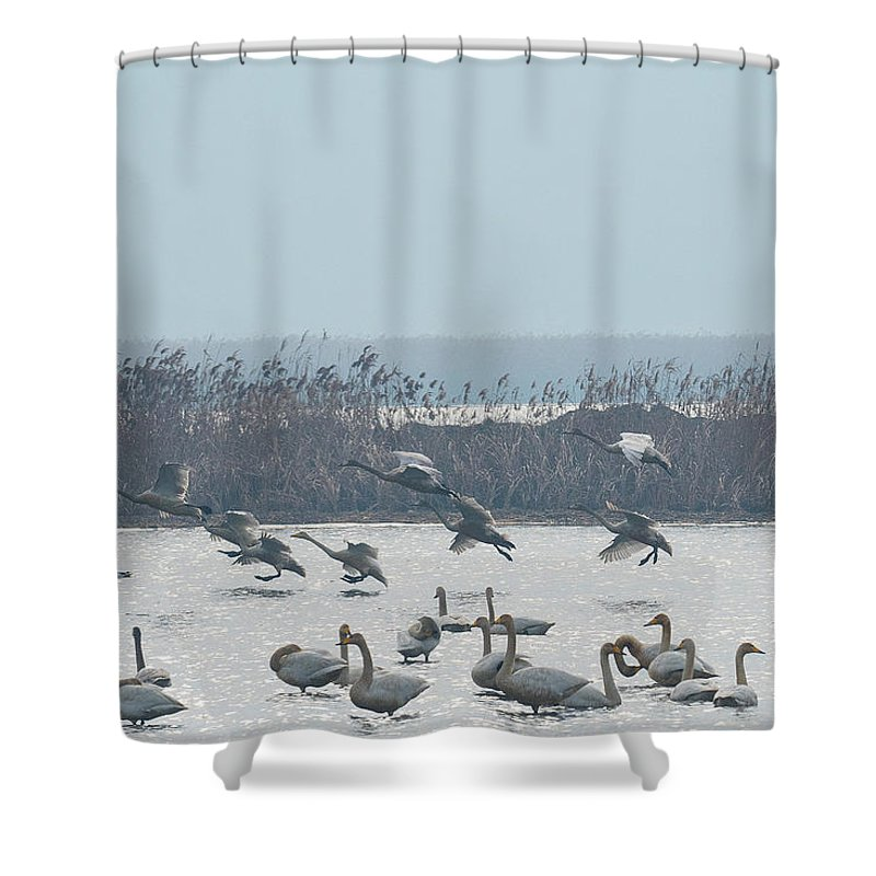 Whooping Swans Shower Curtain featuring the photograph Landing by Eric Nelson