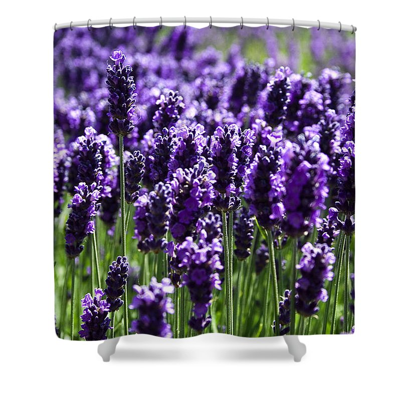 Photo Shower Curtain featuring the photograph Lavender Field by David Patterson