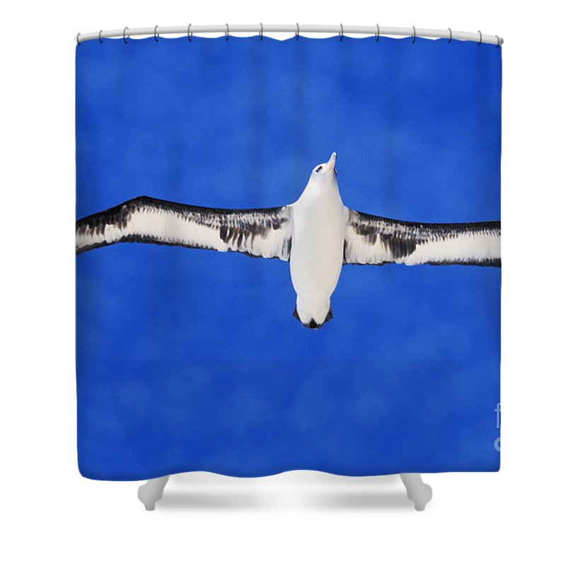Adult Shower Curtain featuring the photograph Laysan Albatross by Ed Robinson - Printscapes