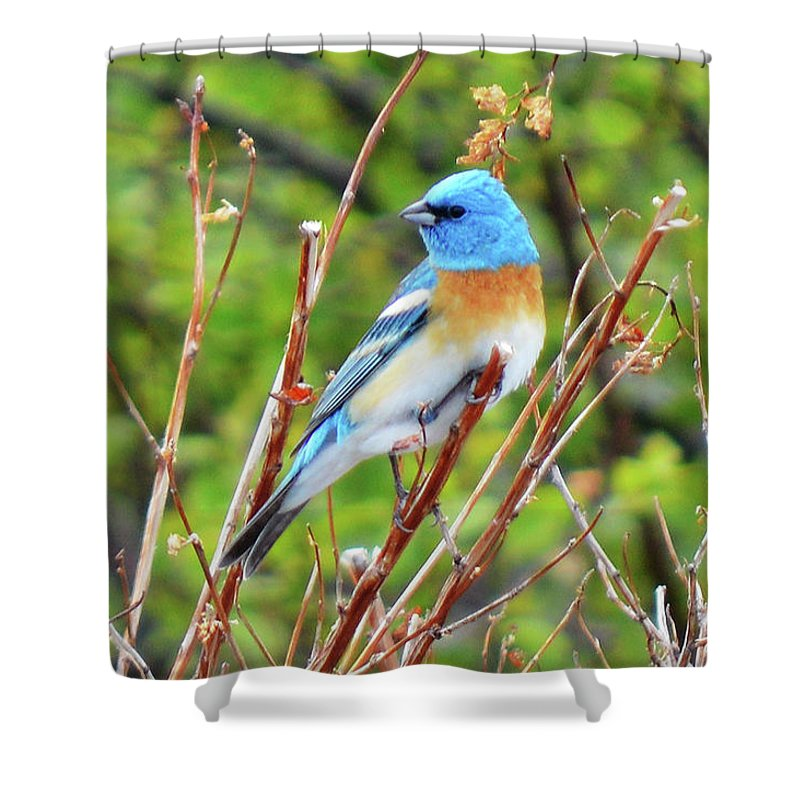 Bird Shower Curtain featuring the photograph Lazuli Bunting by Tracie Fernandez