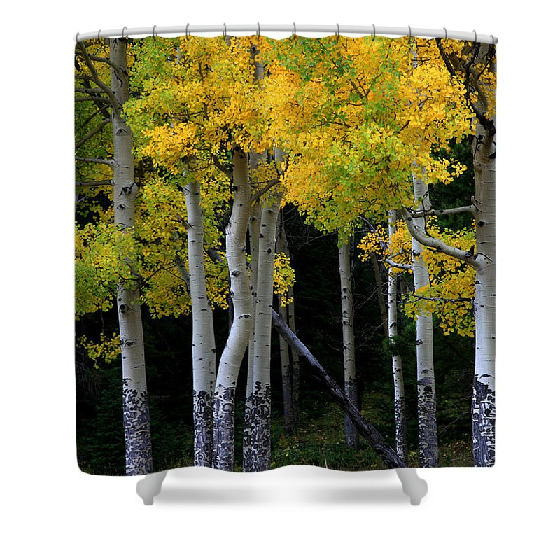 Aspens Shower Curtain featuring the photograph Leaning Aspen by Timothy Johnson