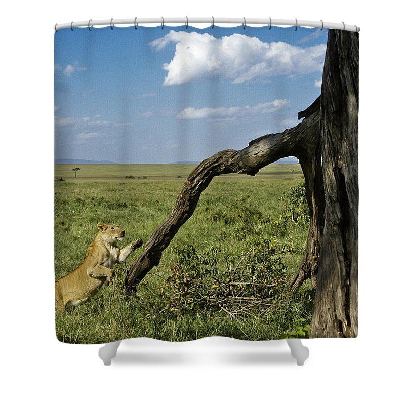Africa Shower Curtain featuring the photograph Leaping Lion by Michele Burgess