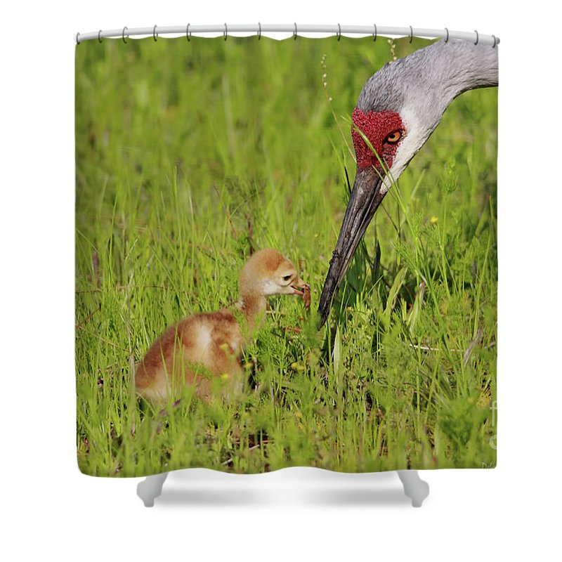 Sandhill Crane Shower Curtain featuring the photograph Learning To Eat by Deborah Benoit