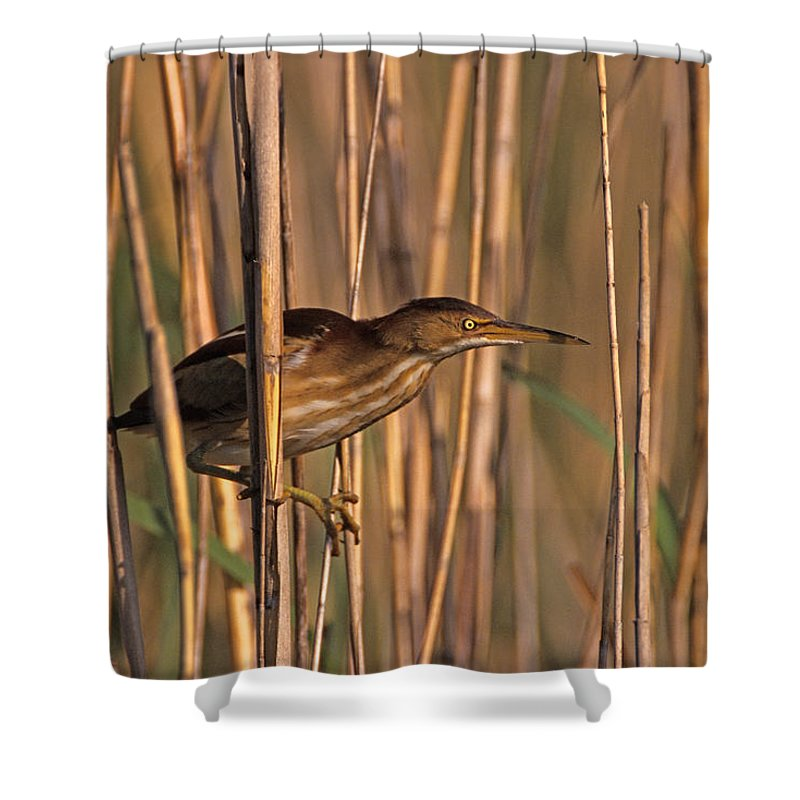 Least Bittern Shower Curtain featuring the photograph Least Bittern by John Harmon