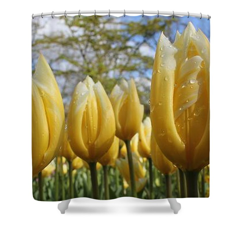 Tulips Flowers Colors Garden Outdoors Colorful Happy Keukenhof Relaxing Pleasing Attractive Vibrant Shower Curtain featuring the photograph Lemon Curd Chantilly by Charles Van Wagenen Jr