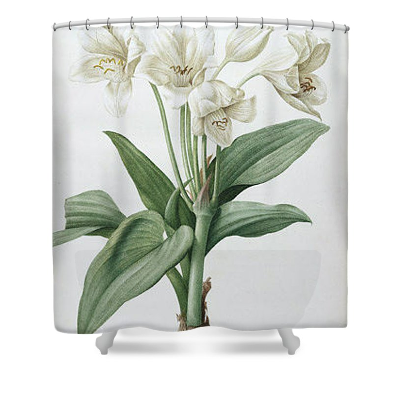 Shower Curtain featuring the drawing Les Liliacees by Redoute