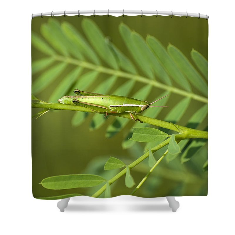 Grasshopper Shower Curtain featuring the photograph Linear Winged Grasshopper by Kenneth Albin