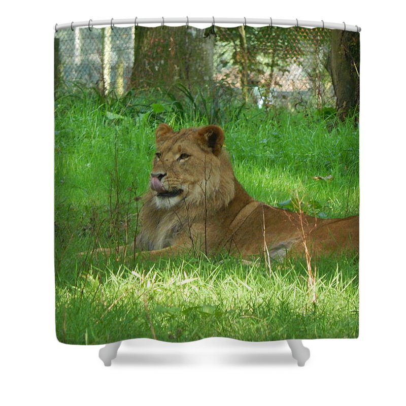 Lion Shower Curtain featuring the photograph Lion by Alison Martin