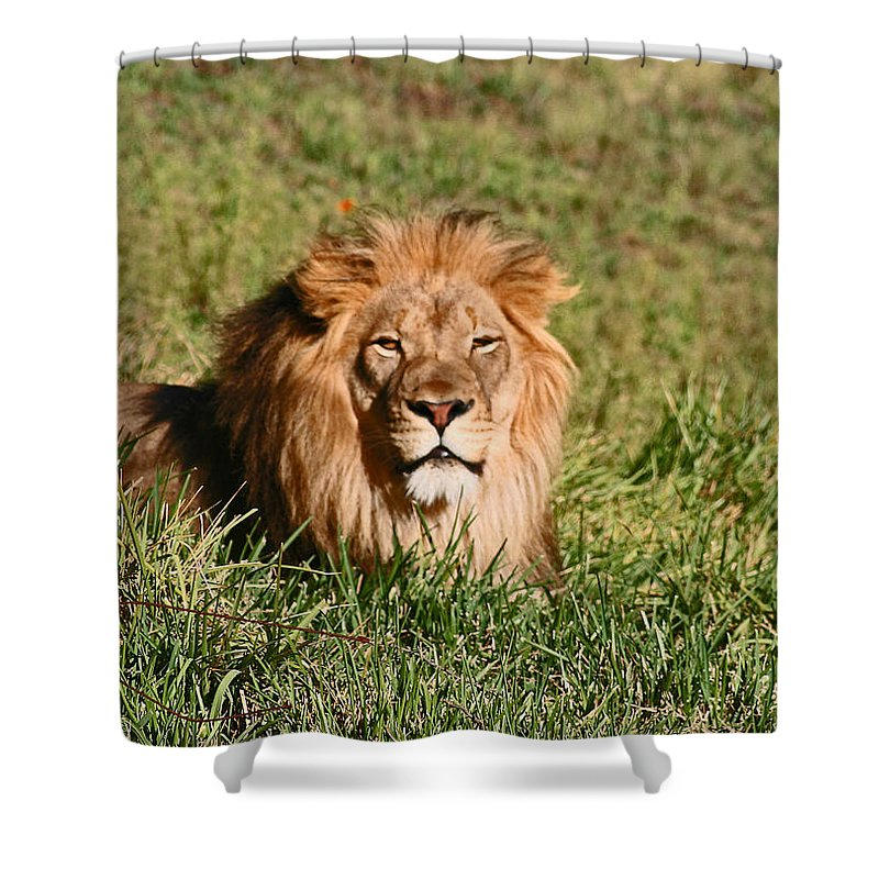 Animals Shower Curtain featuring the photograph Lion by David Campbell
