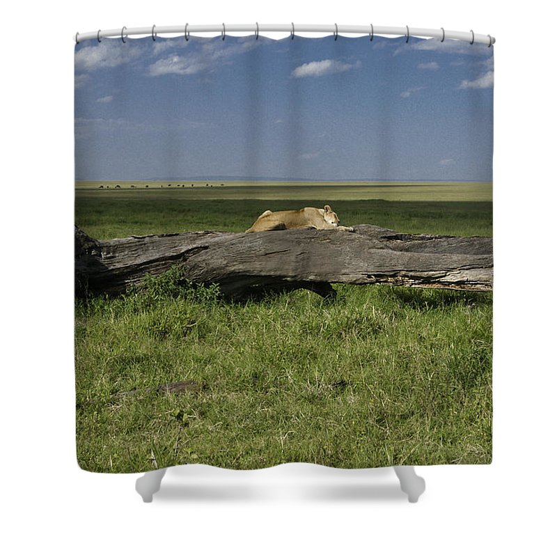 Africa Shower Curtain featuring the photograph Lion on a Log by Michele Burgess