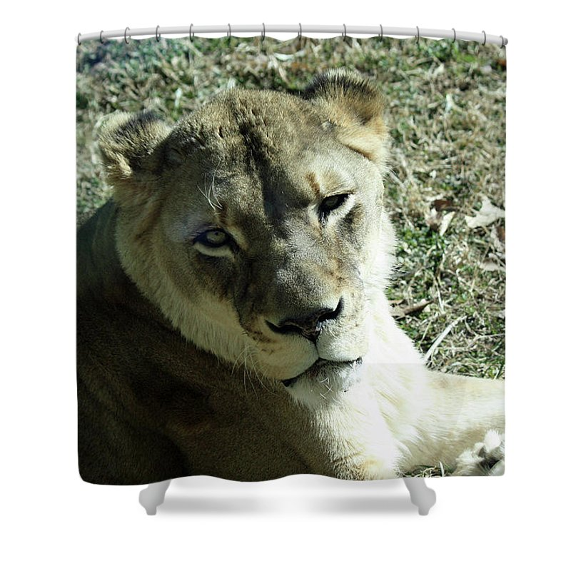 Maryland Shower Curtain featuring the photograph Lioness Peering by Ronald Reid
