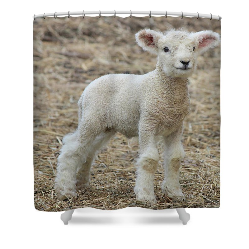 Lamb Shower Curtain featuring the photograph Little White Lamb by Sue Feldberg