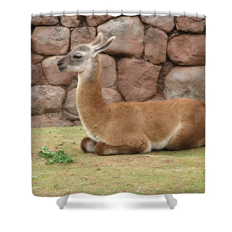 Animal Shower Curtain featuring the photograph Llama by Sandra Bourret