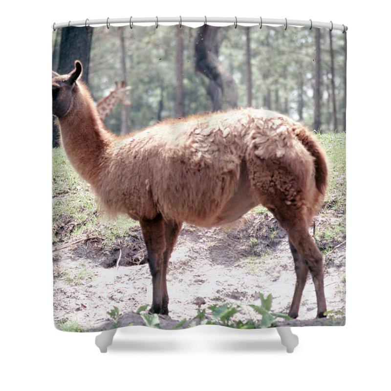 Llama Shower Curtain featuring the photograph Llamalovely by Delbert Larkin