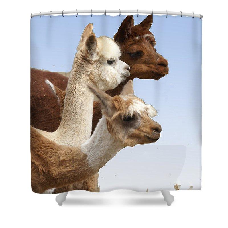 Llama Shower Curtain featuring the photograph Llama's Three by Heather Coen