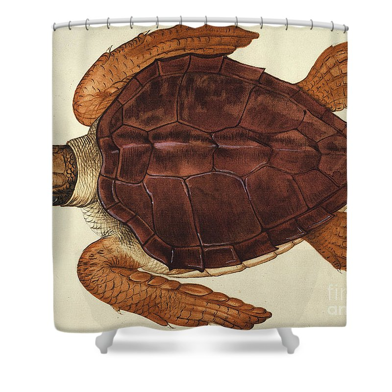 1585 Shower Curtain featuring the photograph Loggerhead Turtle, 1585 by Granger