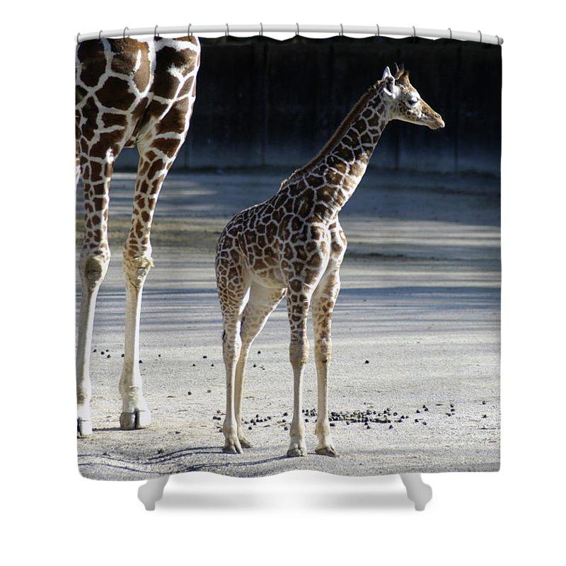 Long Legs Shower Curtain featuring the photograph Long Legs - Giraffe by D'Arcy Evans