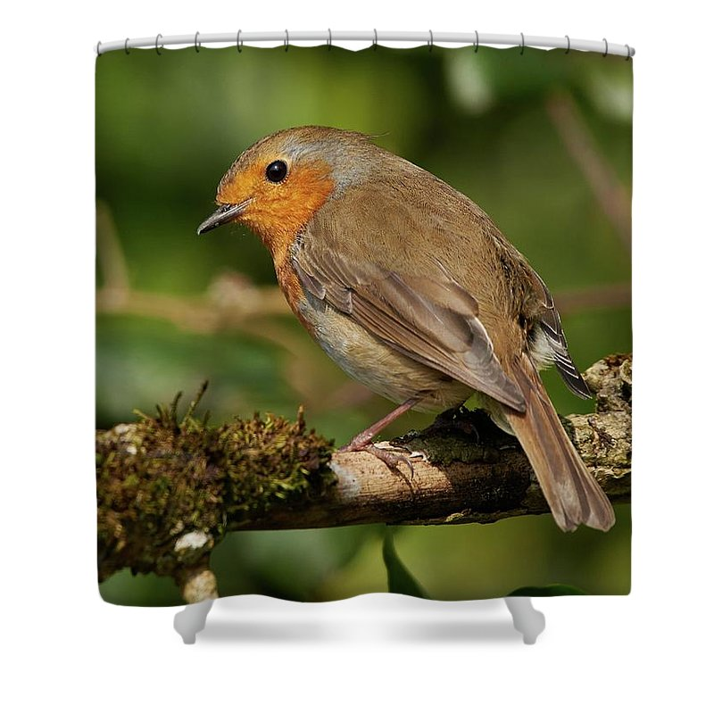 Robin Shower Curtain featuring the photograph Looking Back by Paul Hayes
