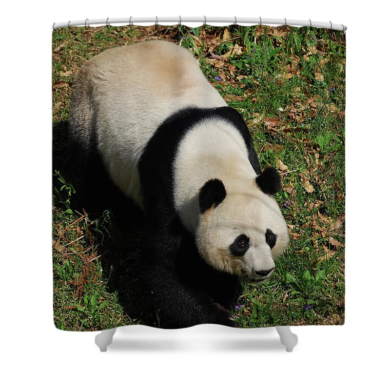 Panda Shower Curtain featuring the photograph Looking Down At A Cute Giant Panda Bear by DejaVu Designs