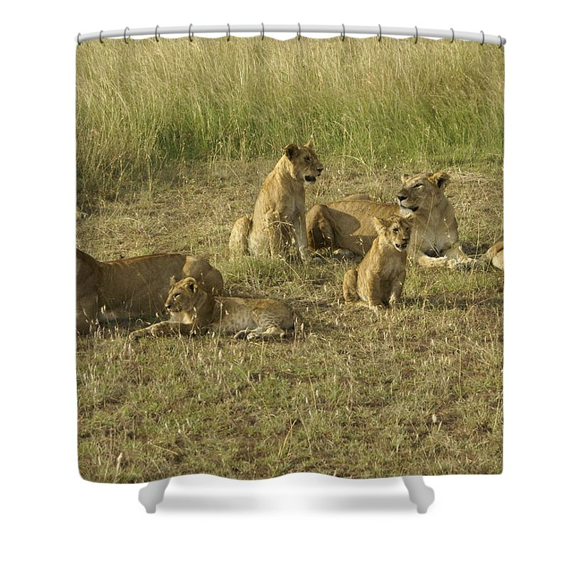 Africa Shower Curtain featuring the photograph Lotsa Lions by Michele Burgess