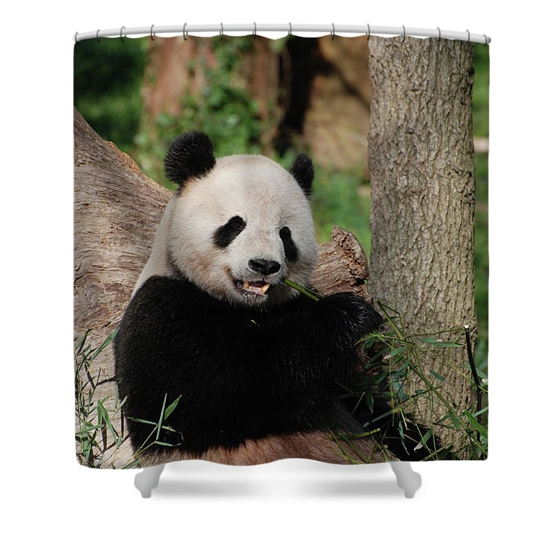 Panda Shower Curtain featuring the photograph Lounging Giant Panda Bear With A Shoot Of Bamboo by DejaVu Designs