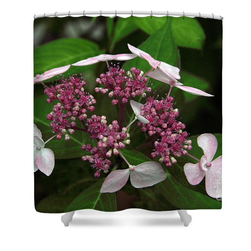 Hydrangea Shower Curtain featuring the photograph Lovely by Amanda Barcon