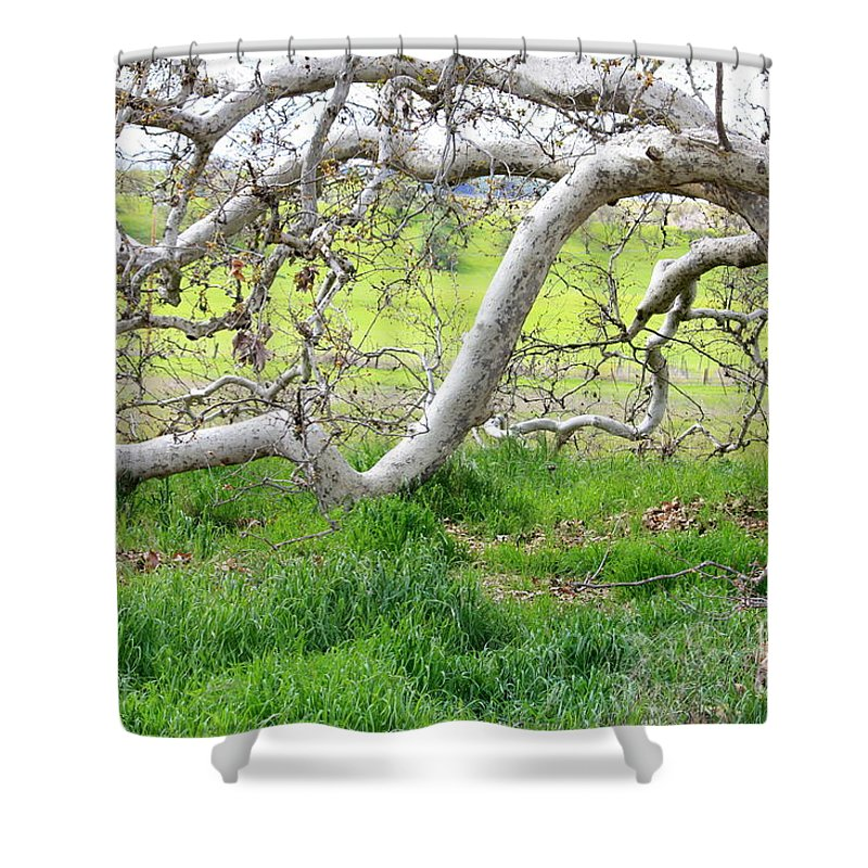 Landscape Shower Curtain featuring the photograph Low Branches On Sycamore Tree by Carol Groenen
