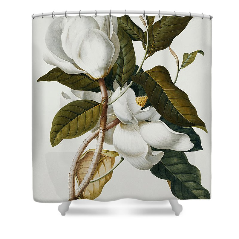 Magnolia Shower Curtain Featuring The Painting By Georg Dionysius Ehret