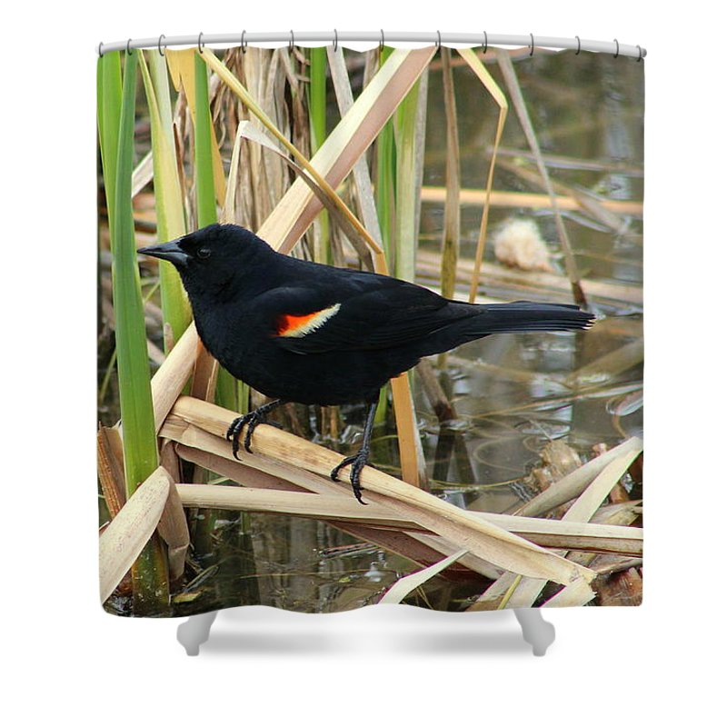Red-winged Blackbird Shower Curtain featuring the photograph Male Red Winged Blackbird by Anita Hiltz