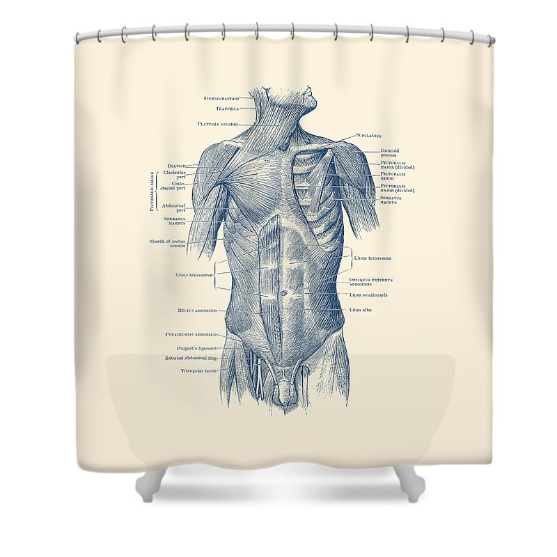 Male Upper Body Muscular System Vintage Anatomy Shower Curtain For
