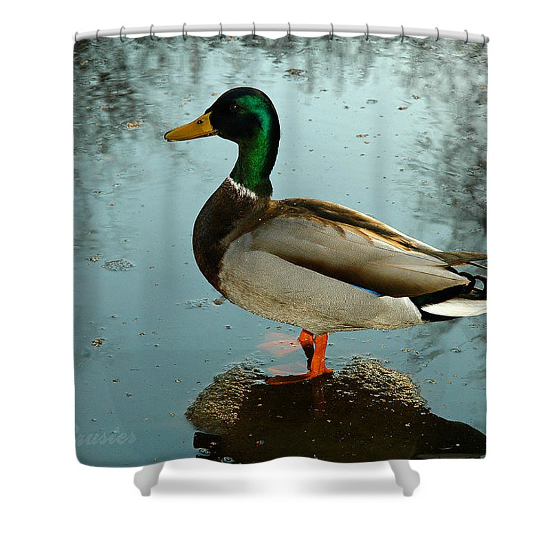 Clay Shower Curtain featuring the photograph Mallard by Clayton Bruster