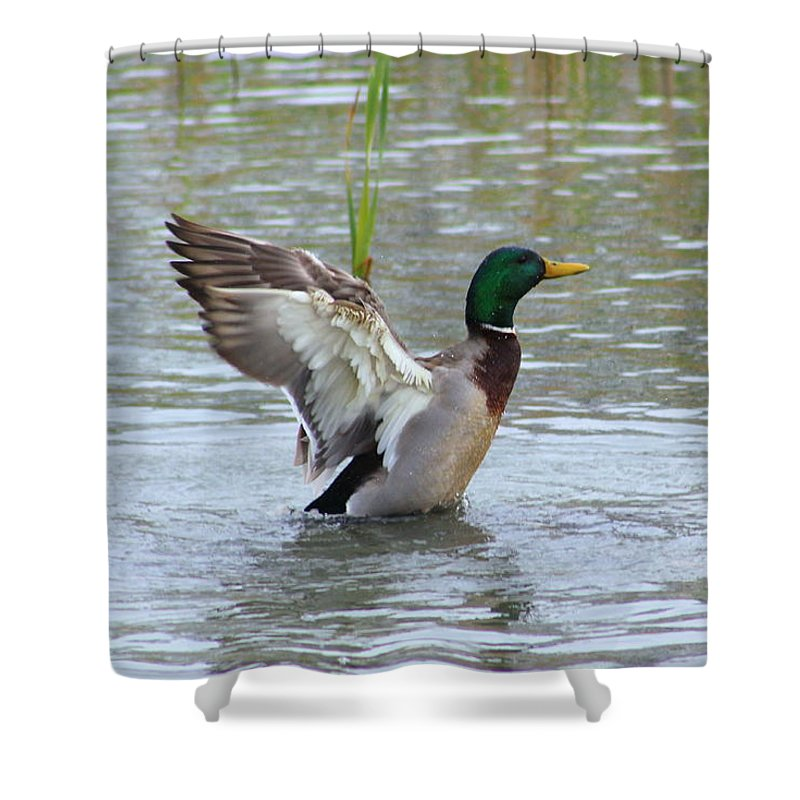 Mallard Shower Curtain featuring the photograph Mallard Duck Landing In Pond by Anita Hiltz