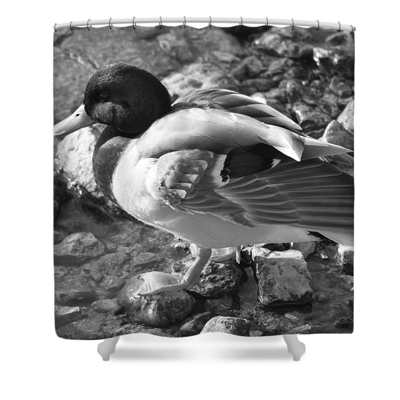 Duck Shower Curtain featuring the photograph Mallard by Lauri Novak