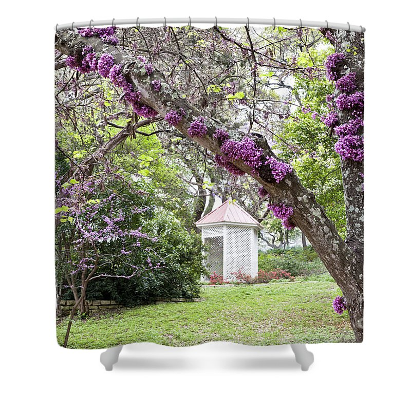 Mature Flowering Texas Redbud Tree Shower Curtain For Sale By Inga