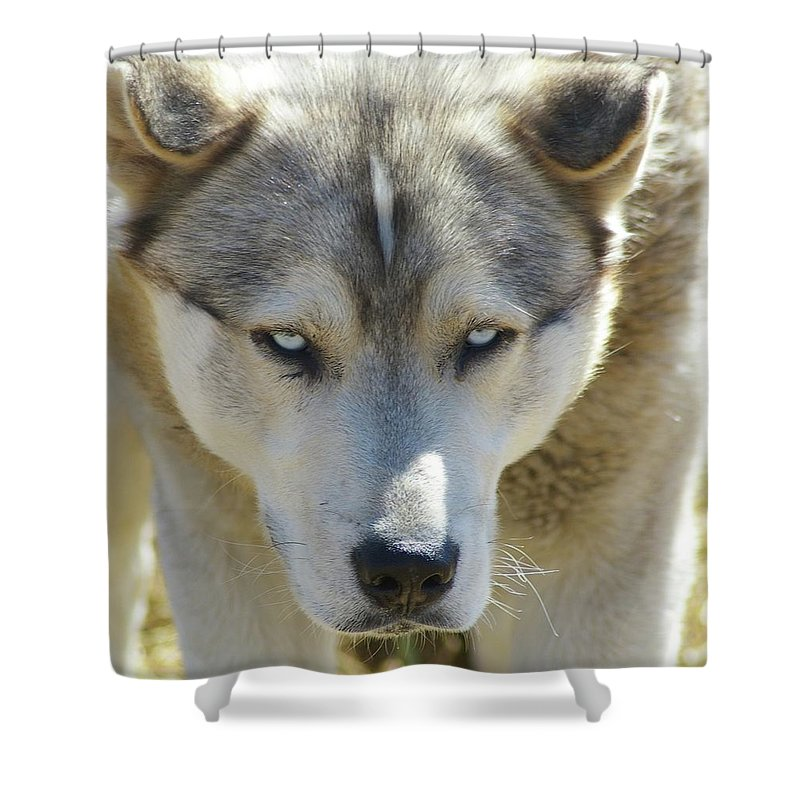 Dogs. Far Animals. Huskies Shower Curtain featuring the photograph Meet Mr Happy by Jeff Swan
