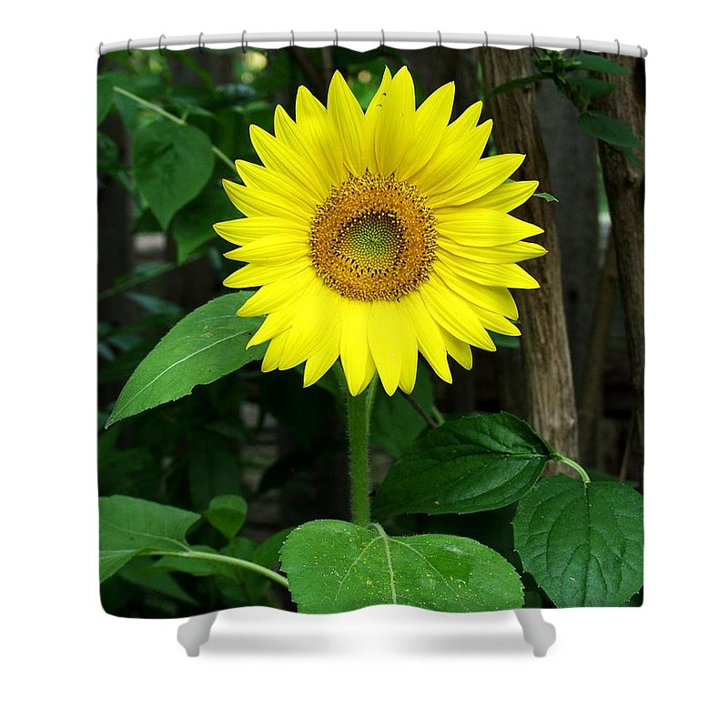 Yellow Shower Curtain featuring the photograph Miss Sunshine by Carol Sweetwood