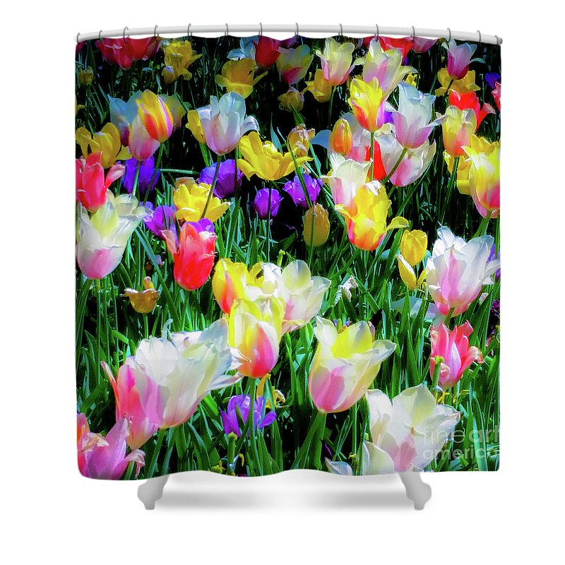 Tulips Shower Curtain featuring the photograph Mixed Tulips In Bloom by D Davila