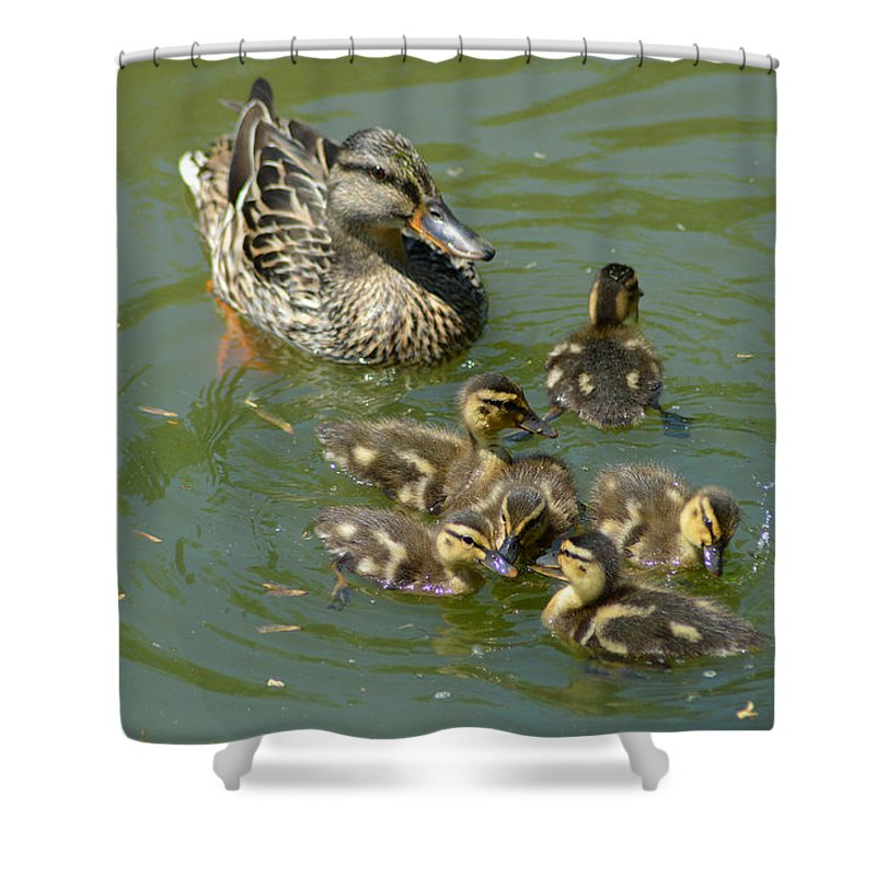 Mallard Hen Shower Curtain featuring the photograph Momma Duck With Babies by Belinda Stucki