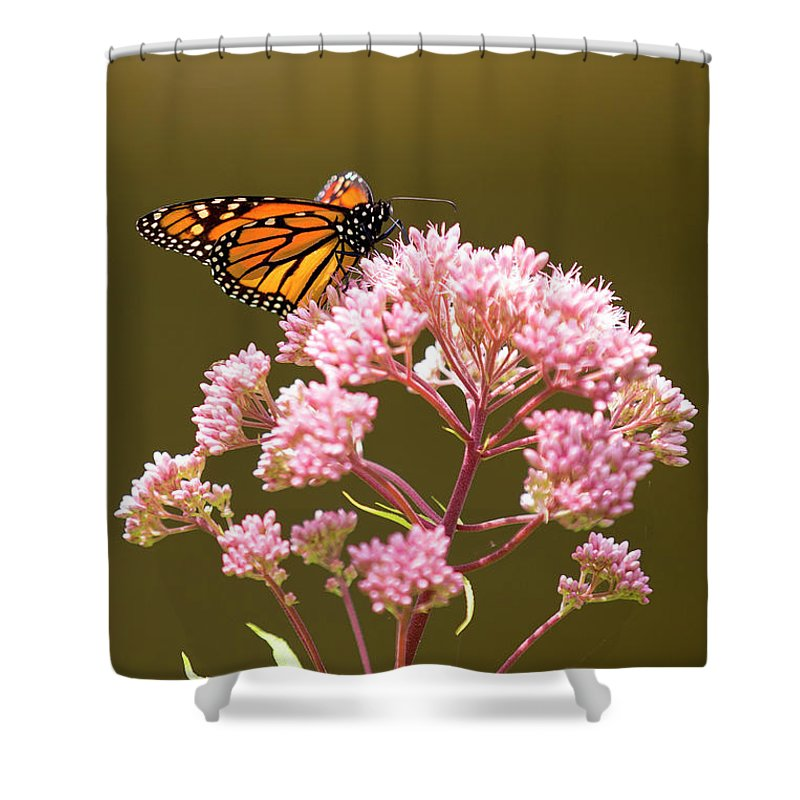 Butterfly Shower Curtain featuring the photograph Monarch Butterfly 5 by David Stasiak