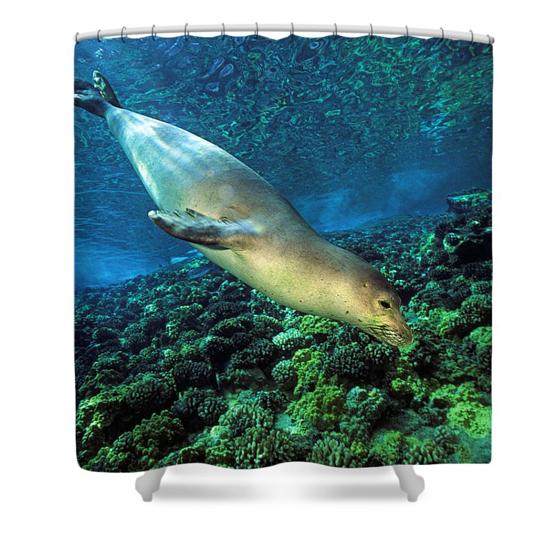 Animal Art Shower Curtain featuring the photograph Monk Seal Dive by Dave Fleetham - Printscapes