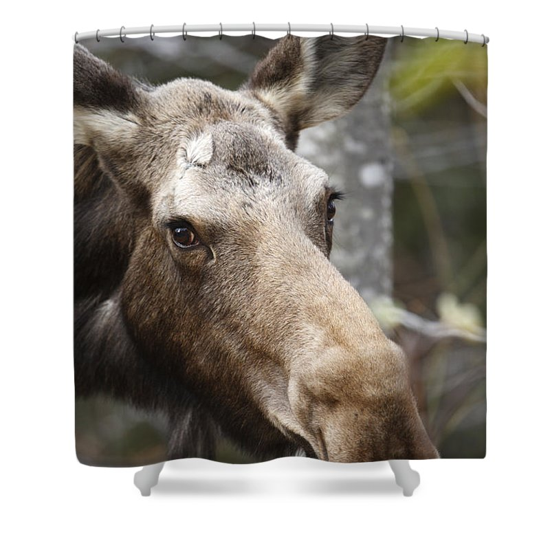 Mountain Shower Curtain featuring the photograph Moose - White Mountains New Hampshire Usa by Erin Paul Donovan