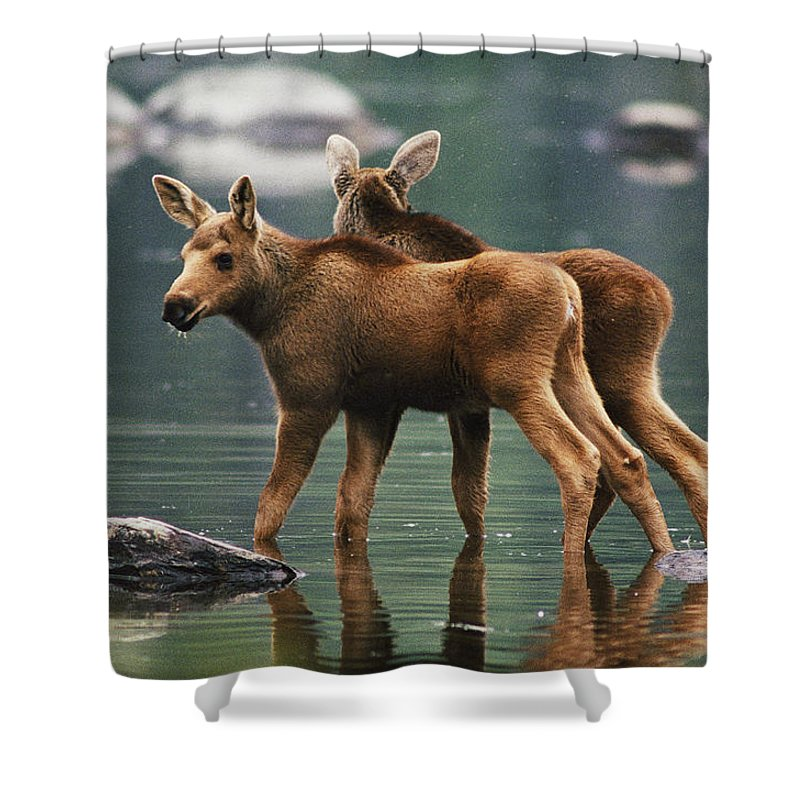 Baxter State Park Shower Curtain Featuring The Photograph Moose Twins Alces Americana By Phil Schermeister