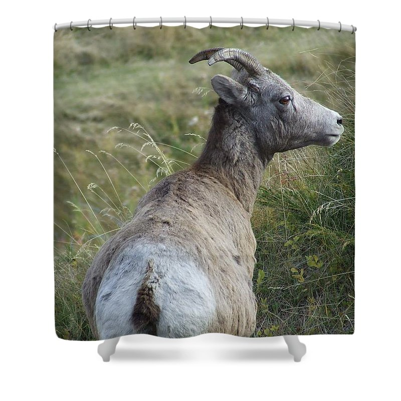 Bighorn Sheep Shower Curtain featuring the photograph Mother Bighorn by Tiffany Vest