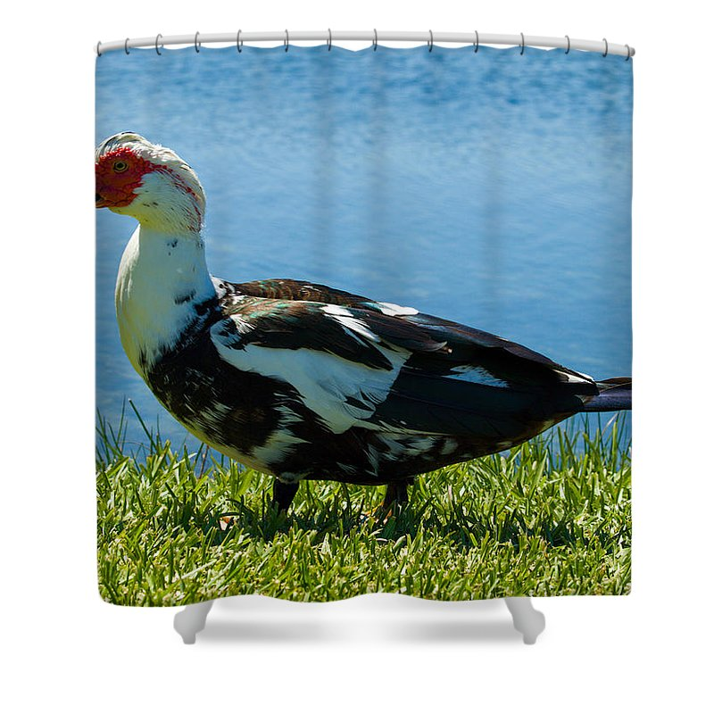 Muscovy; Duck; Bird; Fowl; Florida; Waterbird; Waterfowl; Feral; Domesticate; Wild; Native; Ugly; Du Shower Curtain featuring the photograph Muscovy Ducks Are Butt-ugly by Allan Hughes