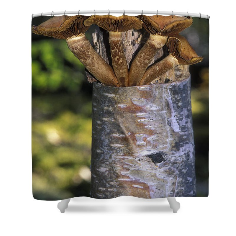 Mushrooms Shower Curtain featuring the photograph Mushroom Growing From A Birch Tree by Rich Reid